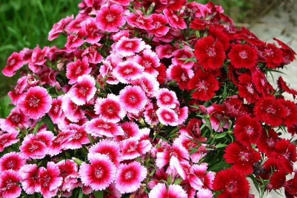 Ý nghĩa của hoa cẩm chướng